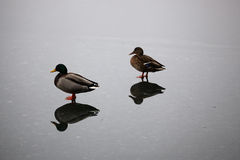 Mallard ducks flying. Walking on ice Stock Photography