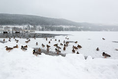 Mallard ducks on frozen lake. Titisee in the Black Forest in Germany Royalty Free Stock Image