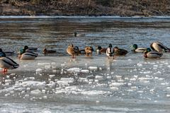 Mallard Ducks on the frozen Saale in Jena. Some Mallard Ducks on the frozen Saale in Jena Stock Photo