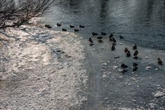 Mallard Ducks on the frozen Saale in Jena. Some Mallard Ducks on the frozen Saale in Jena Stock Photography