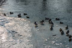 Mallard Ducks on the frozen Saale in Jena. Some Mallard Ducks on the frozen Saale in Jena Stock Image
