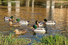 Ducks on Gacka river spring, Croatia Stock Photo
