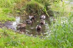 Mallard Ducks in Lake Water. Mallard ducks gathered in a lake in a lush, green area Stock Image