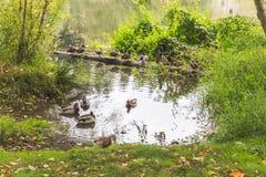 Mallard Ducks in Lake Water. Mallard ducks gathered in a lake in a lush, green area Royalty Free Stock Image