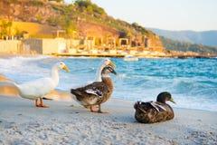Mallard ducks. And geese on the sandy beach near Aegean sea water Royalty Free Stock Photos