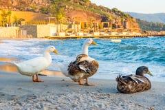 Mallard ducks and geese on the sandy beach. Near Aegean sea water Royalty Free Stock Photo
