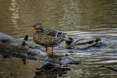 Mallard Ducks. Hen Mallard on log with drake splashing behind in blue sky reflected pond Royalty Free Stock Image