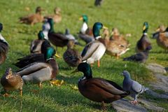 Mallard ducks herd. Herd of Mallard ducks, In Herd existed also little different ducks. They are  mixed with domestic ducks Stock Photo