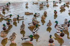 Mallard ducks herd. On pond in city at winter Stock Photo