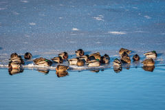 Mallard ducks on ice. A group of mallard ducks sitting in the sunshine on the edge of the ice near the blue water Royalty Free Stock Images