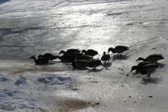 Mallard ducks on ice. A smaller group of mallard ducks lay on sunny part of the ice Stock Photography