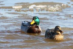 Mallard Ducks Icy Swim Royalty Free Stock Photos