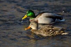 Mallard Ducks il nuoto giù il fiume Fotografie Stock Libere da Diritti