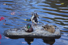 Mallard ducks il resto su una roccia, fiume di Farmington, cantone, Connecti Fotografia Stock Libera da Diritti