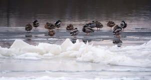 Mallard ducks il sonno su un fiume congelato al tramonto Immagine Stock