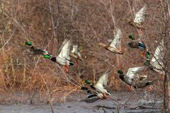 Free Mallard Ducks In Flight Mallards Taking Off Flying Royalty Free Stock Images - 173431819