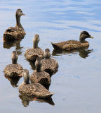 Mallard ducks in the lake. A closeup of a group of mallard ducks, swimming together in a calm lake Stock Photos