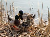Mallard ducks. On the lake Stock Images