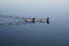 Mallard ducks on lake