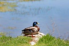 Mallard ducks by the lake. Beautiful Mallard ducks by the lake Stock Photo