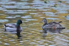 Mallard ducks. On lake at evening Royalty Free Stock Photos