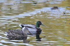 Mallard ducks. On lake at evening Stock Photography