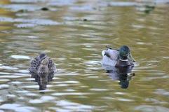 Mallard ducks. On lake at evening Royalty Free Stock Images
