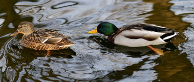 Mallard ducks. In the lake foraging Royalty Free Stock Photography