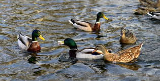 Mallard ducks. In the lake foraging Stock Images