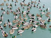 Toronto Lake Mallard ducks 2018. Mallard ducks on the Lake Ontario in Toronto, Canada, January 25, 2018 Stock Image