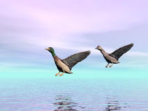 Mallard ducks landing - 3D render Royalty Free Stock Image