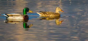 Mallard Ducks Stock Images