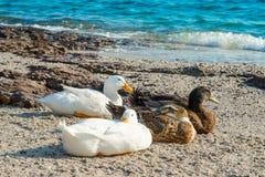 Mallard ducks. And geese on the sandy beach near Aegean sea water Stock Photography