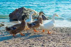 Mallard ducks. And geese on the sandy beach near Aegean sea water Stock Photo