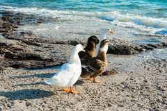 Mallard ducks. And geese on the sandy beach near Aegean sea water Royalty Free Stock Photography