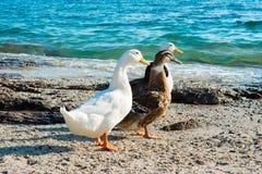 Mallard ducks. And geese on the sandy beach near Aegean sea water Royalty Free Stock Photography