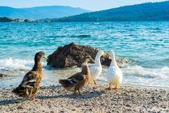 Mallard ducks. And geese on the sandy beach near Aegean sea water Royalty Free Stock Photo