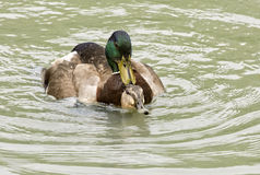 Mallard Ducks Mating. In a pond Stock Images