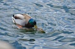 Mallard Ducks Mating in Spring Stock Photos