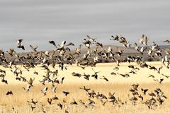 Mallard ducks migrating in the fall landing in a grain field. To eat and rest before moving south for the winter Royalty Free Stock Photos