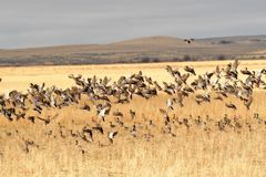 Mallard ducks migrating in the fall landing in a grain field. To eat and rest before moving south for the winter Stock Photo