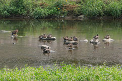 Mallard ducks Royalty Free Stock Images