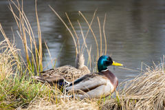 Mallard ducks on nest Stock Images