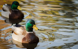 Mallard Ducks Offset stock photo