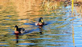 Mallard Ducks. A Pair of Mallard males swimming on a lake Royalty Free Stock Photos