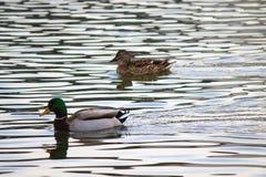 Mallard Ducks. A pair of Mallard ducks swim together on a pond Royalty Free Stock Photo