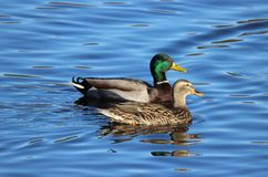 Mallard Ducks. A pair of mallard ducks swimming on a lake Stock Photography