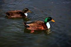 Mallard Ducks. Pair of Mallard ducks swimming in a pond Stock Images