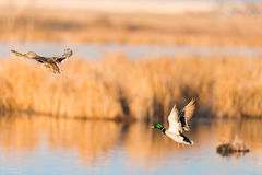 Mallard Ducks. Pair of Mallard Ducks taking flight over a prairie wetland Alberta Canada Stock Image