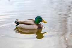 Mallard ducks photographed in city park. Wild ducks living near water Royalty Free Stock Photos